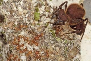 Ученые выяснили, что муравьи начали выращивать грибы после гибели динозавров