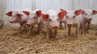 Сразу в двух областях Украины зафиксированы вспышки африканской чумы свиней