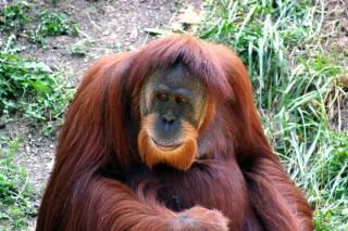 В австралийском зоопарке обезьяна исполняет брейк-данс