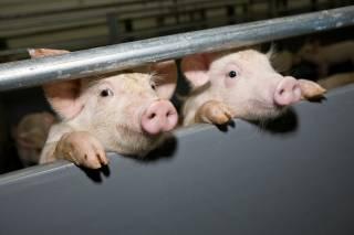 Африканская чума добралась до ровенских свиней