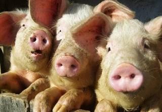 На Полтавщине объявлен 40-дневный карантин из-за свиней