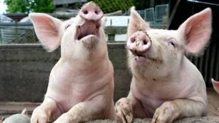 На Виннитчине из-за АЧС уничтожено более 350 голов свиней