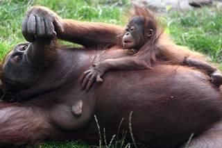 На грани исчезновения оказались сразу четыре вида человекообразных обезьян