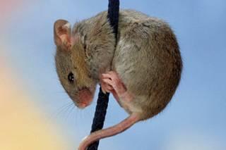 Китайцы научили мышей терять страх