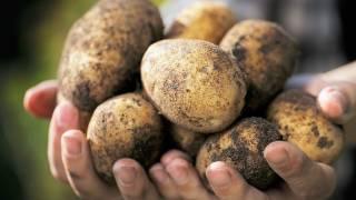 Эксперты пророчат плохой урожай картофеля