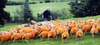 Британский фермер перекрасил в оранжевый цвет 800 овец
