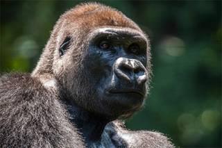 Японские ученые уличили шимпанзе в умении понимать мысли человека и прогнозировать его поведение