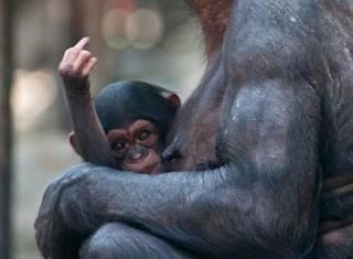 Шимпанзе все меньше вписываются в концепцию «родственника» человека. Ученые выяснили, что обезьяны - не альтруисты