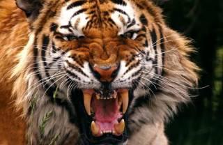 В китайском зоопарке тигр у всех на глазах растерзал посетителя
