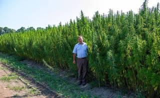 Мэр Глухова ждет свежего урожая конопли, чтобы открыть центр терапии