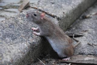 Львов подвергся нашествию крыс