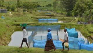Сразу в пяти странах обнаружен вирус озерной тилапии. Будьте внимательны