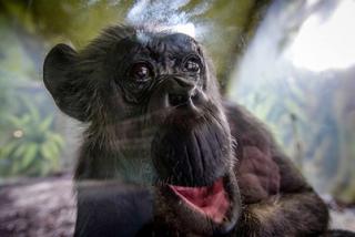 У шимпанзе выявили признаки человеческого слабоумия