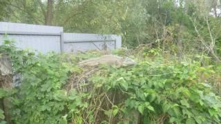 В селе под Киевом женщина нашла у себя на огороде огромную игуану, приняв ее за динозавра