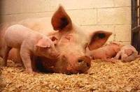 С момента появления в Украине африканской чумы мы недосчитались 130 тыс. свиней