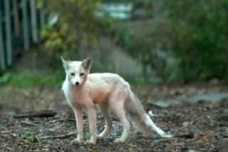 Жители Чикаго пытаются поймать редкую лисицу-мутанта, сбежавшую от своего хозяина