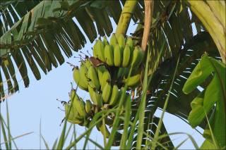 Австралийские ученые спасли бананы от вымирания с помощью генной инженерии