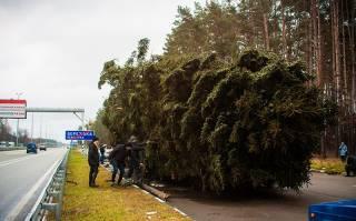 СМИ узнали, почему главная елка страны по дороге в Киев так сильно полысела