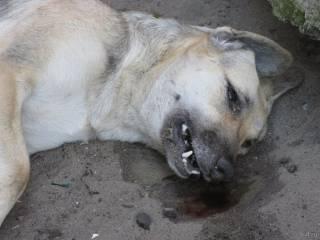 В Киеве неизвестные догхантеры травят собак средством от туберкулеза