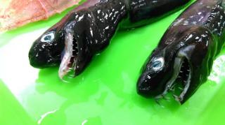 В Тихом океане завелось что-то с очень странными зубами
