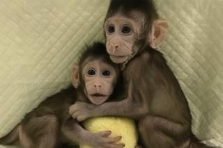 Китайские ученые утверждают, что больше не существует преград для клонирования человека