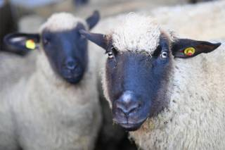 Ученым впервые удалось скрестить овцу с человеком