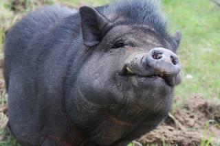 Суровые николаевские свиньи отгрызли голову и руки своему хозяину и съели его внутренние органы