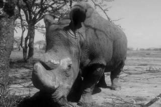 В Кении умер последний в мире самец северного белого носорога. Но ученые еще надеются его «воскресить»