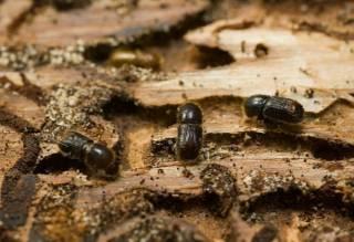 Украинские леса стремительно уничтожают прожорливые паразиты, – СМИ