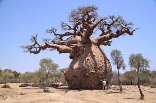В Африке погибли несколько старейших баобабов. Ученые не понимают, что произошло