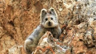 Ученым впервые в истории удалось заснять видео с редким «волшебным кроликом»