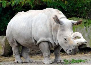 Ученые близки к тому, чтобы «воскресить» северного белого носорога