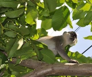 На дачах под Одессой поселилась стая обезьян