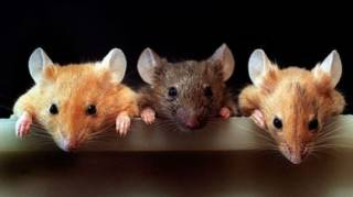 Американские ученые впервые сумели не только искусственно состарить мышей, но и омолодить их обратно