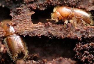 Зловредные жуки «сожрали» уже четыреста тысяч гектаров украинского леса. А ведь специалисты предупреждали…