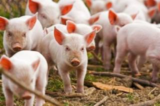 В Украине бушует африканская чума свиней: составлена карта вспышек опасной заразы