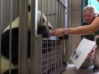 Панда из венского зоопарка научился рисовать картины. Их уже успешно продают