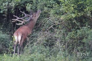 Во Франции вредители «освободили» сотню оленей – их пытаются спасти от гибели