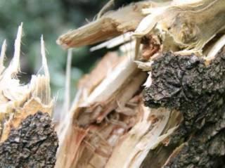Из-за непогоды в Киеве на людей падают деревья