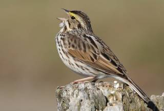 Ученые научили диких птиц петь свои «песни»
