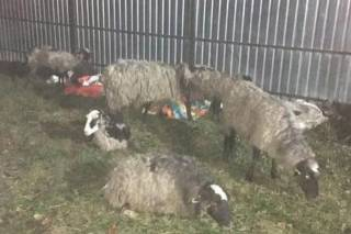 На Виннитчине продолжают умирать овцы, закрытые на две недели в фуре под Одессой без воды и пищи