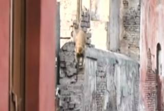 В Индии обезьяна убила годовалого мальчика (видео 18+)