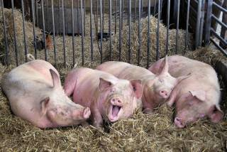 Из-за туристов, птиц и грызунов поголовье свиней в Украине сократилось почти на 1 млн.