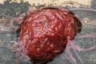 Жуткое видео: американец показал отвратительную колонию канализационных червей