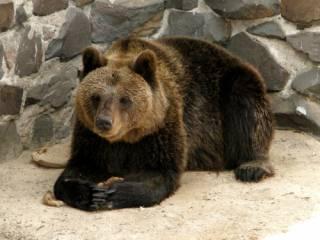 На Черниговщине медведи категорически отказываются спать