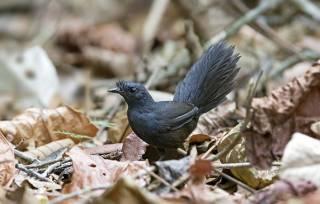 Ученые нашли в Бразилии редкую птицу, которая никогда не долетит до середины Днепра