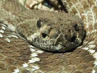 В США под сараем нашли огромное змеиное кубло