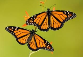 В Калифорнии начали загадочно исчезать бабочки-«монархи»