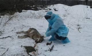 Под Бердянском люди забили до смерти и сожгли волка, который покусал троих человек