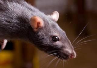 Киев наводнили крысы и мыши